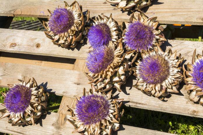 Purple Sunflowers